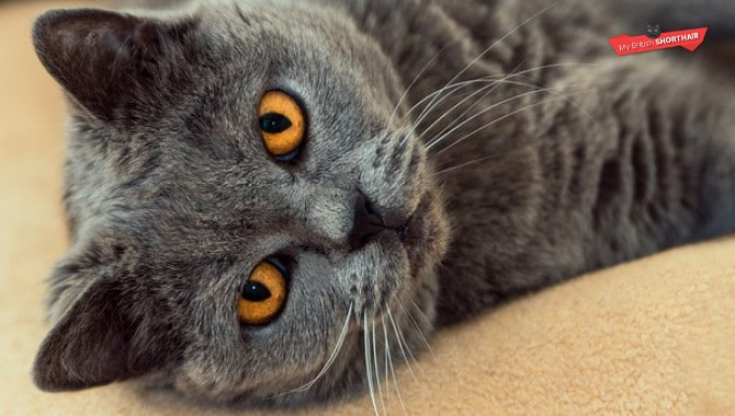How Long Do British Shorthairs Live My British Shorthair