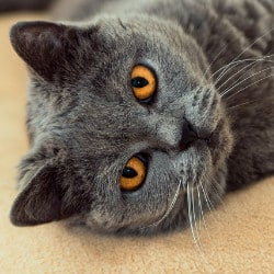 Travelling with British Shorthair cats by car