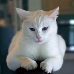 White self-coloured British Shorthair cats