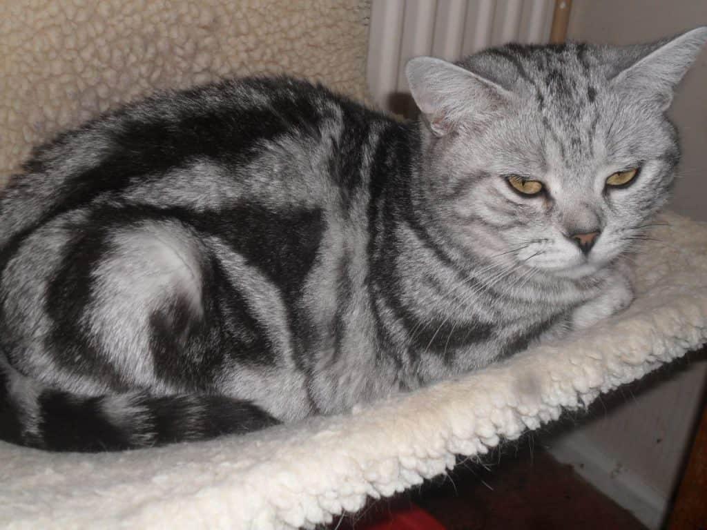 british-shorthair-black-silver-tabby