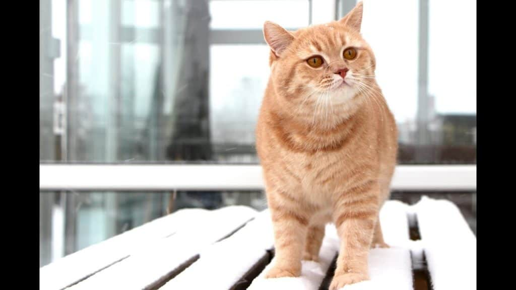 british shorthair red ginger cat