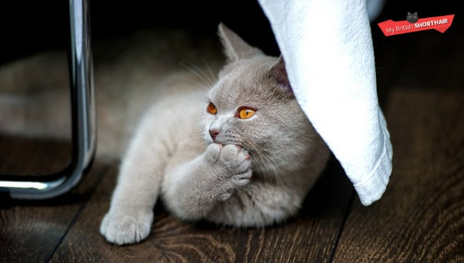 British Shorthair As Pets - 10 Things You Need To Know