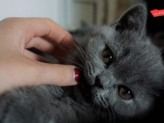 How Do You Take Care Of A British Shorthair Cat
