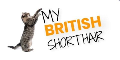 My British Shorthair