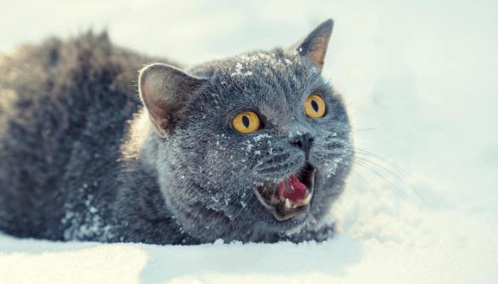 do cats understand human meows