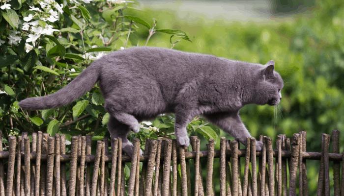British shorthair jumping garden fence