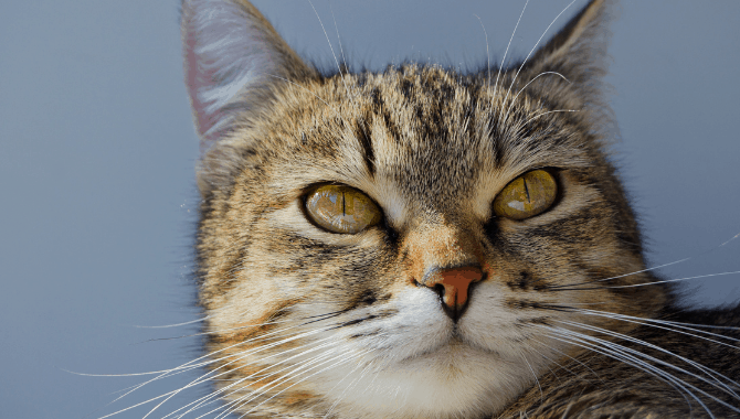 Are American Shorthair Cats Hypoallergenic My British Shorthair
