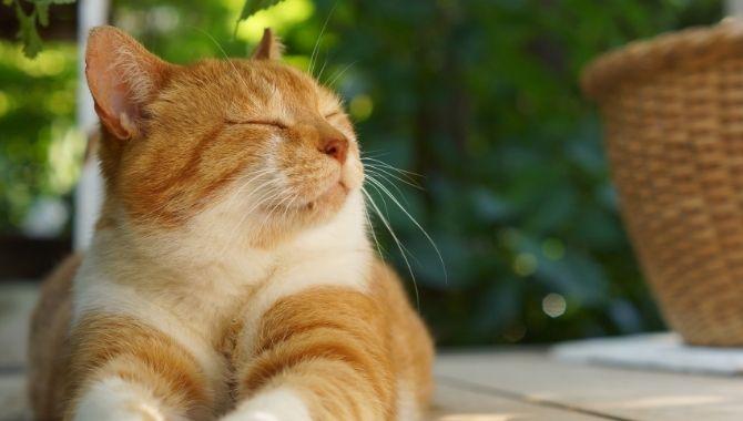 The Domestic Shorthair Cat Lifespan My British Shorthair